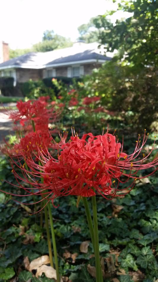 spider-lilies